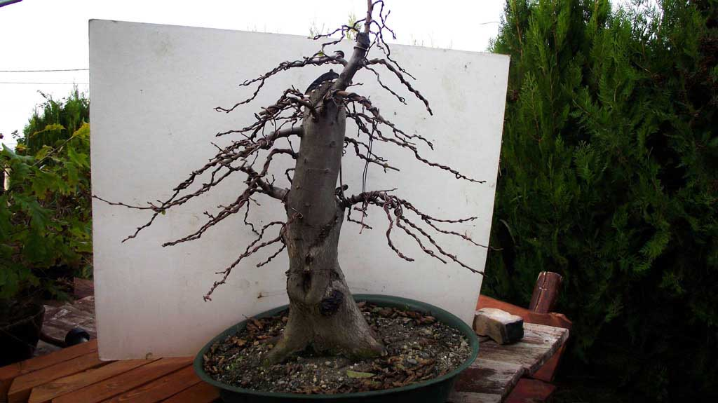 carpinus bonsai, 2014.10