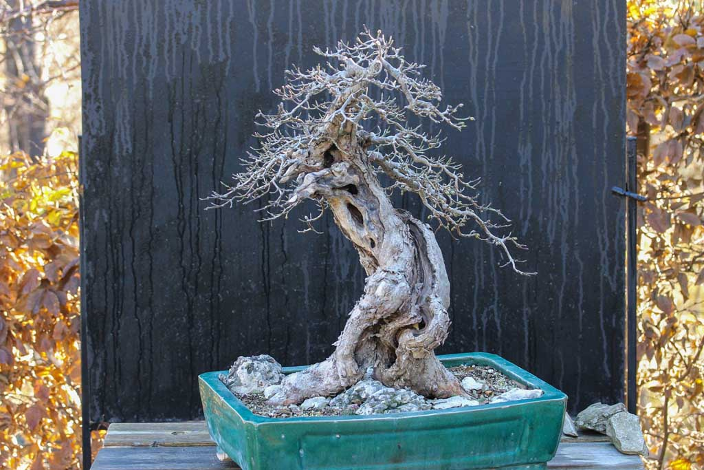 Cornus mas bonsai