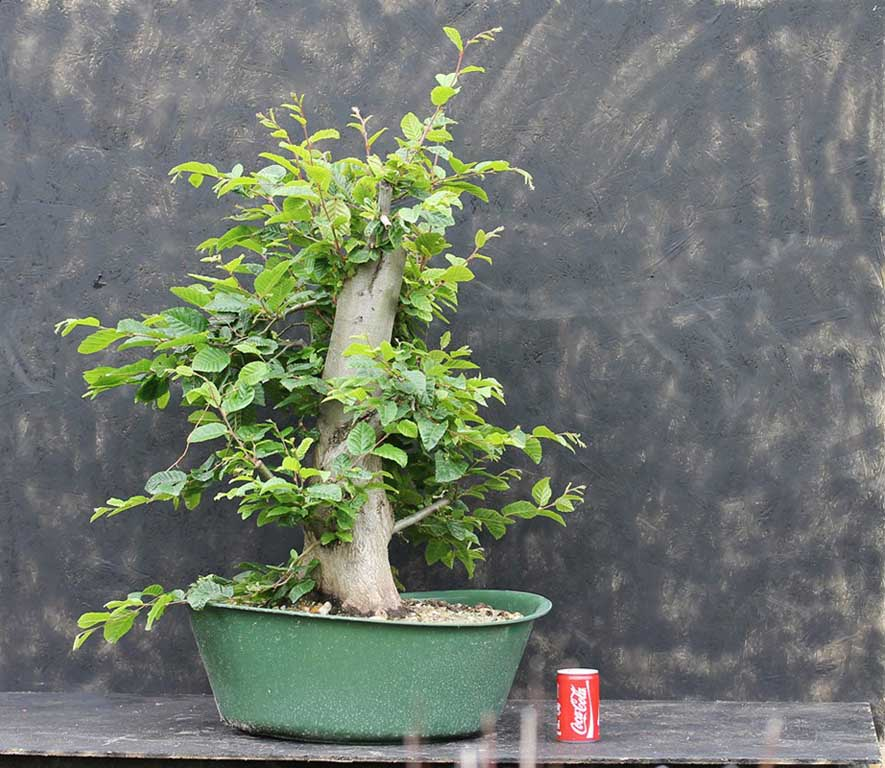 carpinus bonsai, 2014.05